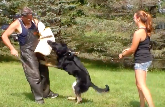 Foundation Bitework Video of Young German Shepherd